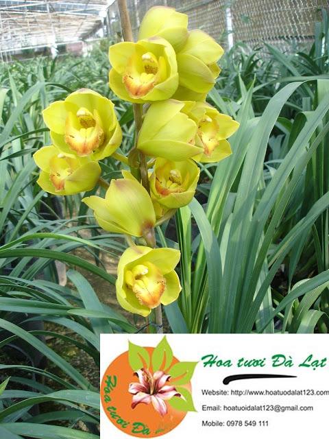 Địa lan xanh thơm Đà Lạt - Hoa tươi Đà Lạt