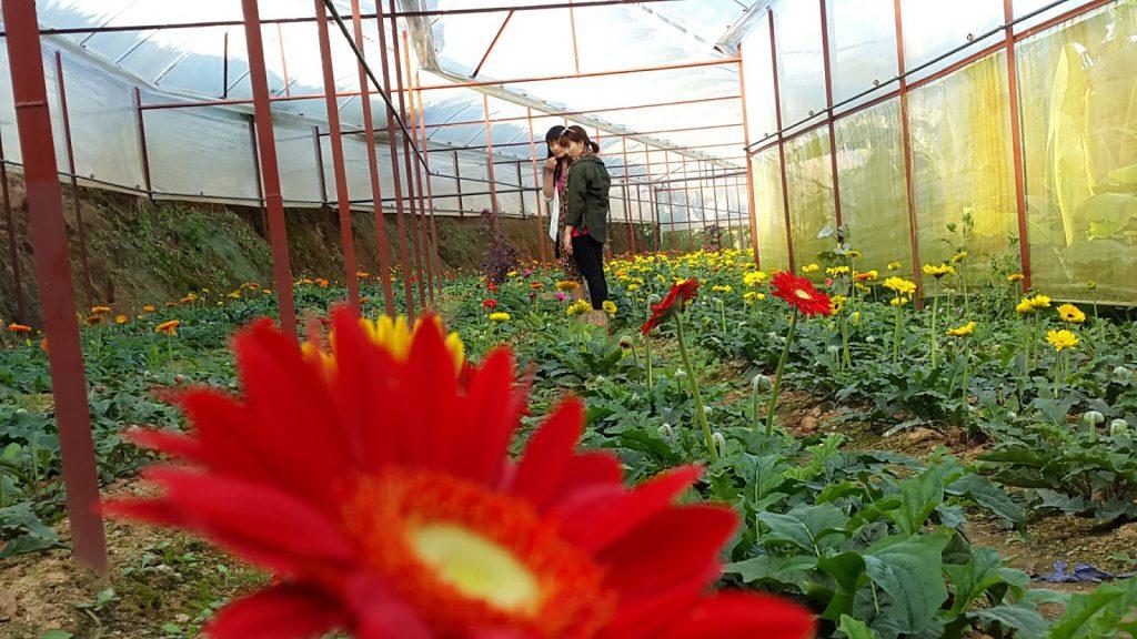 Hoa Đồng Tiền Đà Lạt tại trang trại Hoa tươi Đà Lạt Tinh Hoa đang quay phim lên sóng HTVC