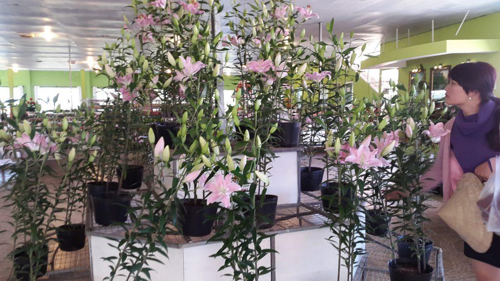 Hoa ly Đà Lạt tại trang trại Hoa tươi Đà Lạt Tinh Hoa đang quay phim lên sóng HTVC