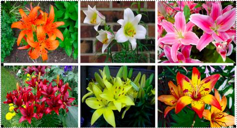 Kinh nghiệm bán hoa tươi: Chăm sóc hoa ly