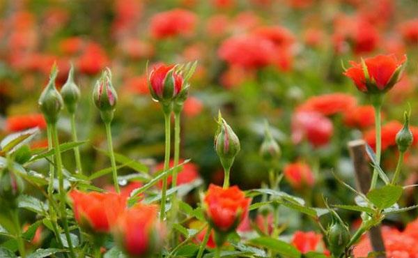 Người trồng hoa không những phải tuân thủ đúng kỹ thuật trồng hoa mà cũng cần chăm sóc hoa đúng cách. (Ảnh minh họa)