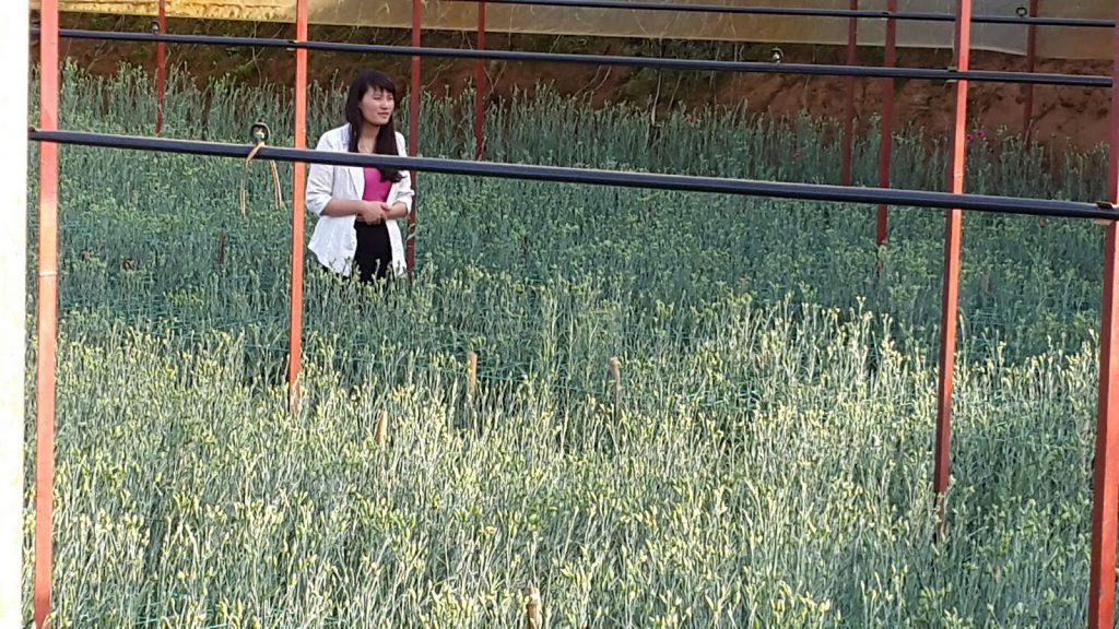 Hoa cẩm chướng Đà Lạt tại trang trại Hoa tươi Đà Lạt Tinh Hoa đang chuẩn bị quay phim lên sóng HTVC