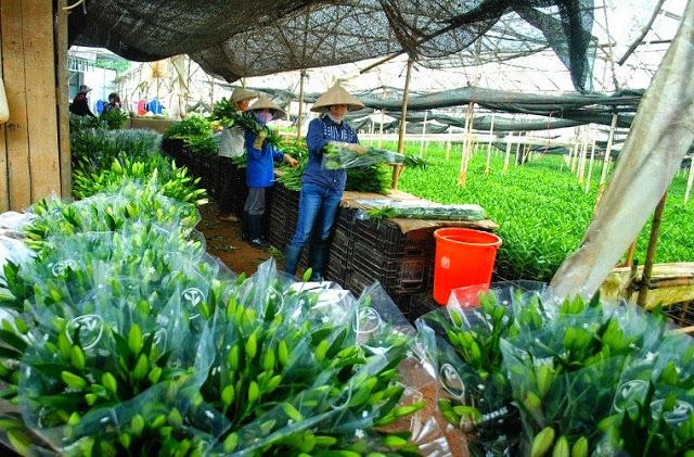 Cách để mua hoa Ly Đà Lạt giá sỉ tại vườn chất lượng tốt