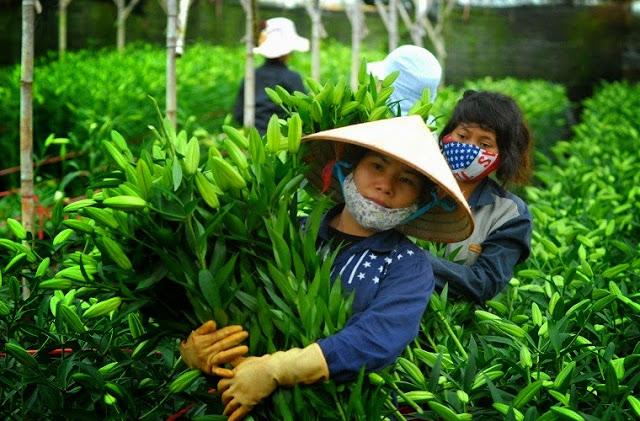 Cứ tầm 6h30 đến 9h30 mỗi ngày, từng lượt công nhân lại thoan thoát thu hoạch hoa Ly.