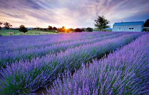 hoa-lavender-hoatuoidalat123