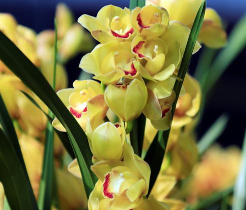 Địa lan vàng 3 râu Đà Lạt - Hoa tươi Đà Lạt