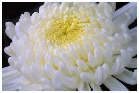Hoa-cuc-trang-hoatuoidalat123