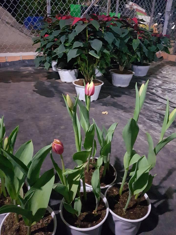 Hoa TuyLip chậu