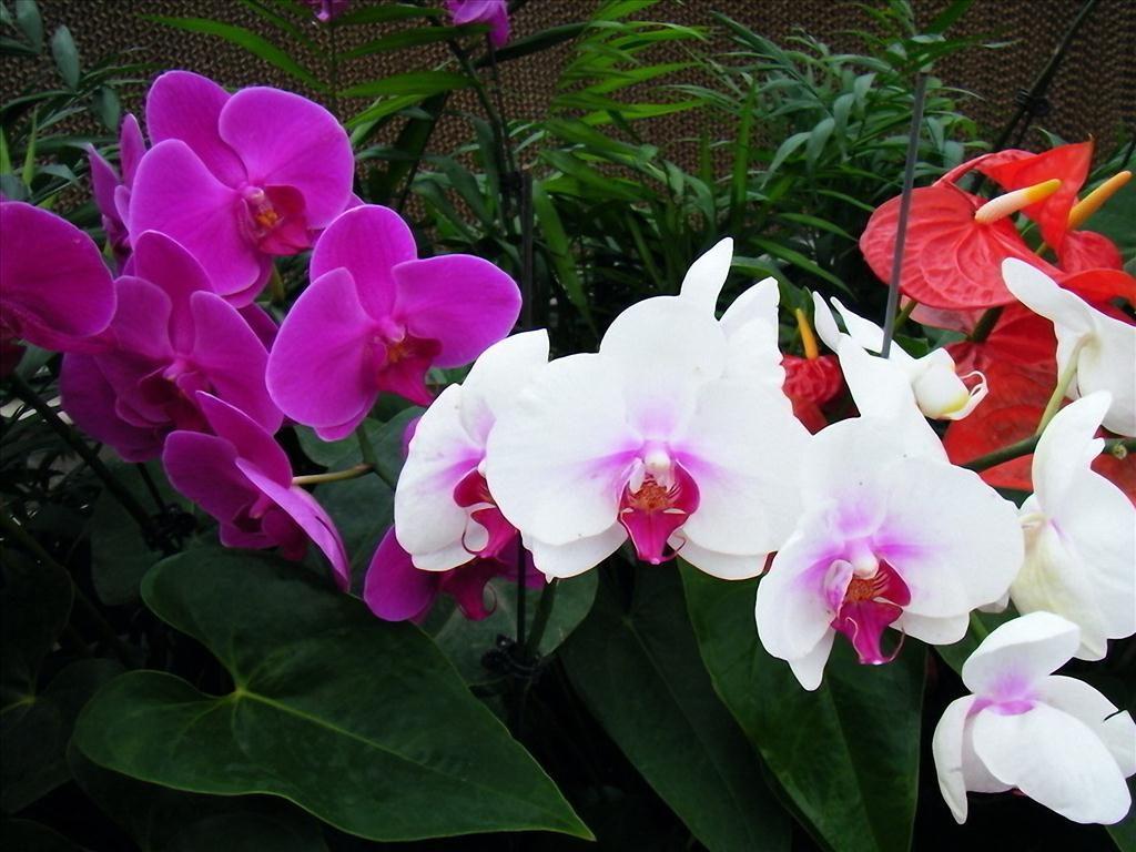 Sự tích hoa lan hồ điệp nhưng ý nghĩa của hoa trong đời sống